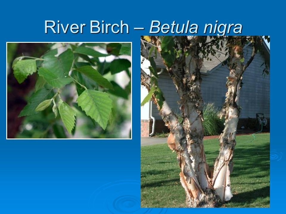 Purpleleaf Plum Prunus cerasifera 'Thundercloud'