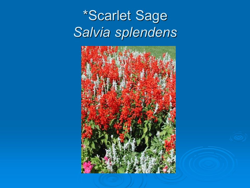 *Scarlet Sage Salvia splendens