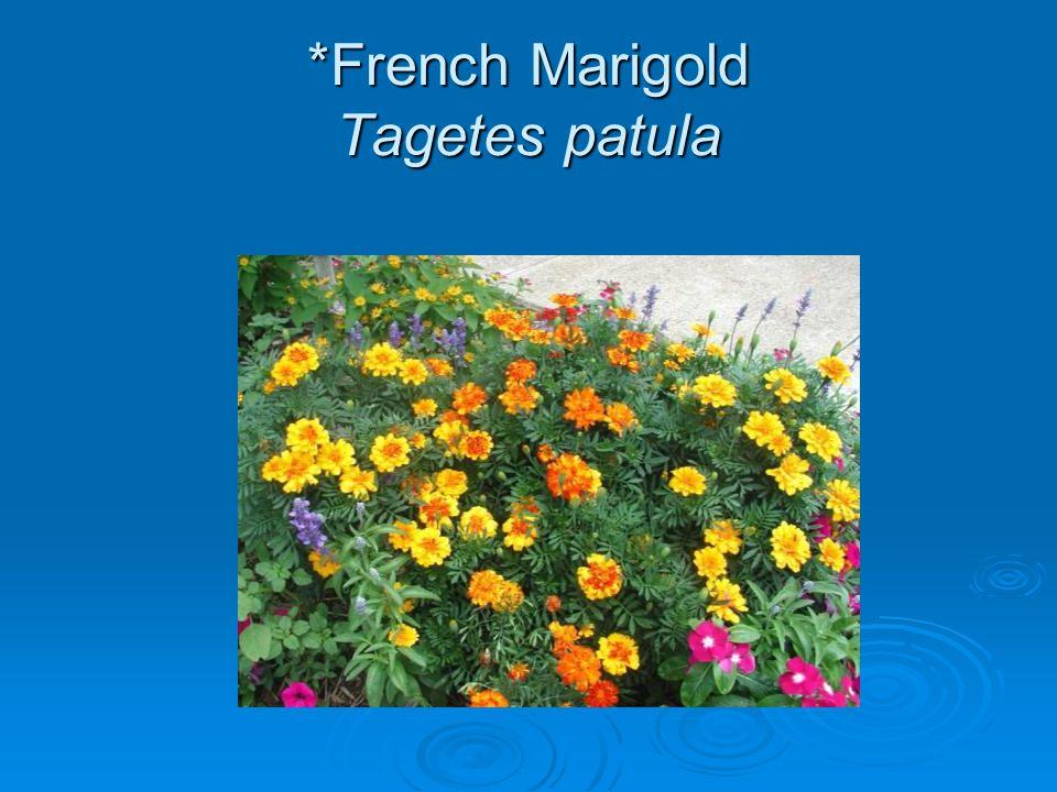 *French Marigold Tagetes patula
