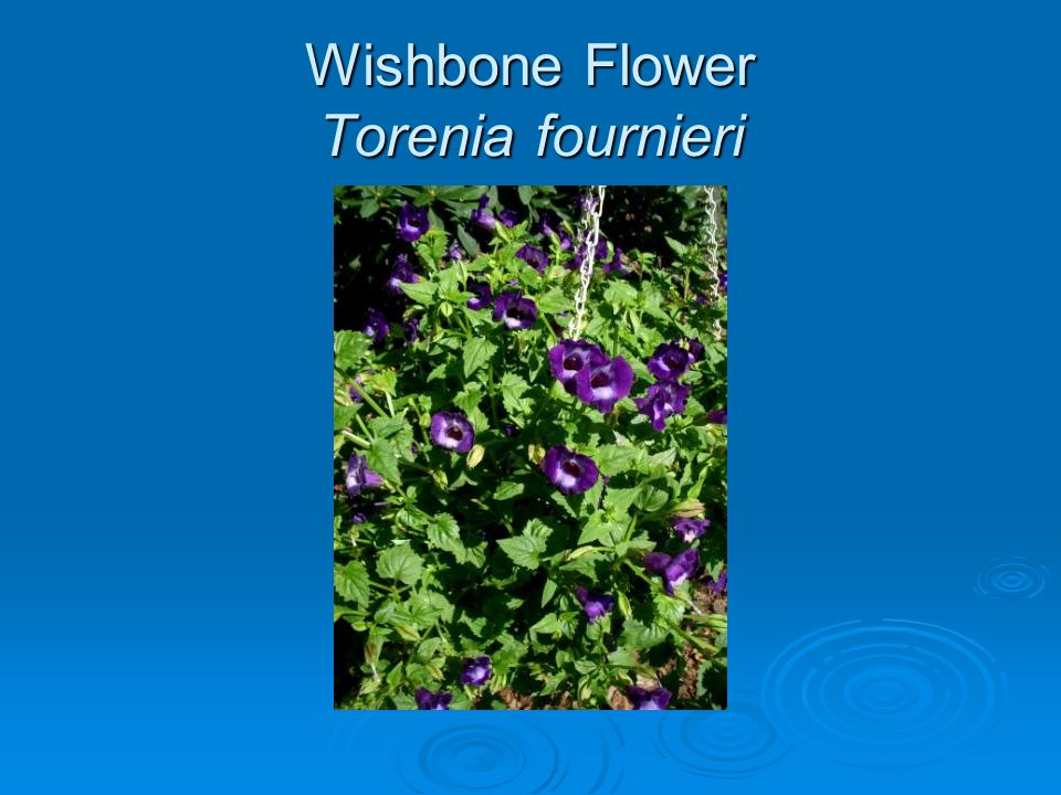 Wishbone Flower Torenia fournieri