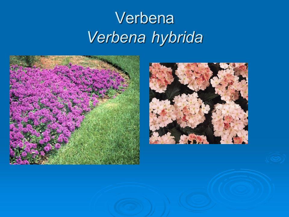 Verbena Verbena hybrida