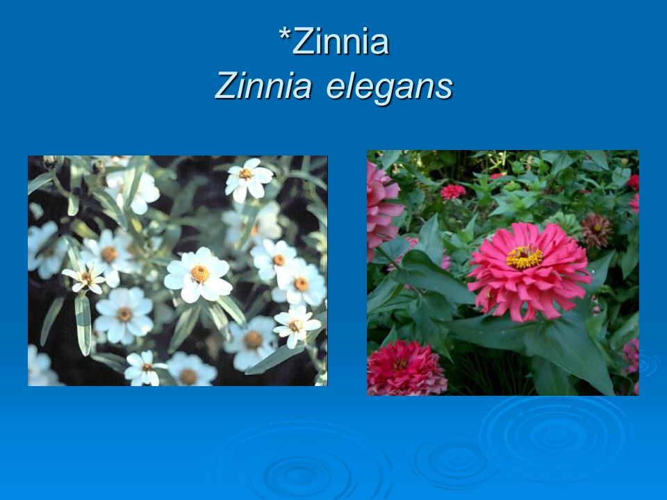 *Zinnia Zinnia elegans