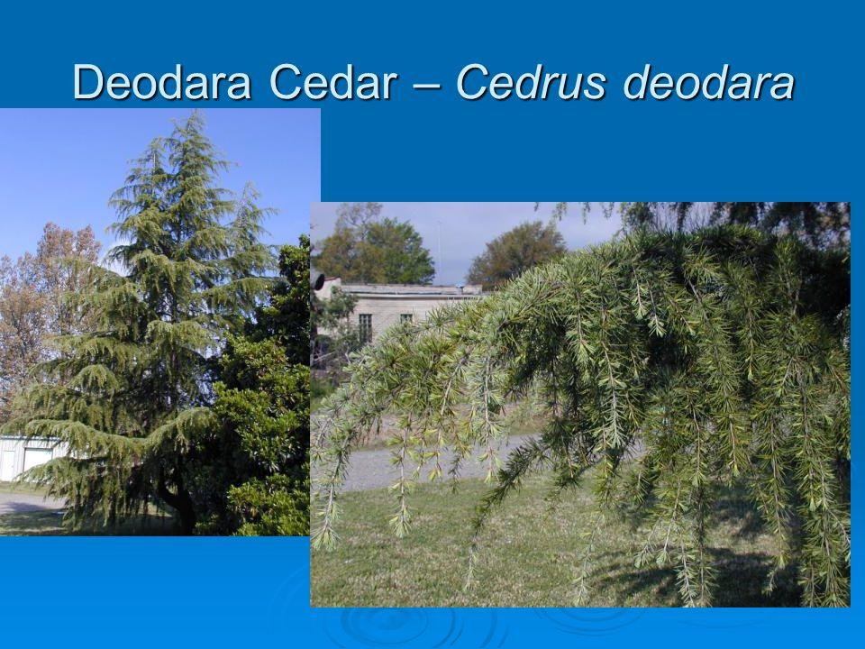 Deodara Cedar – Cedrus deodara