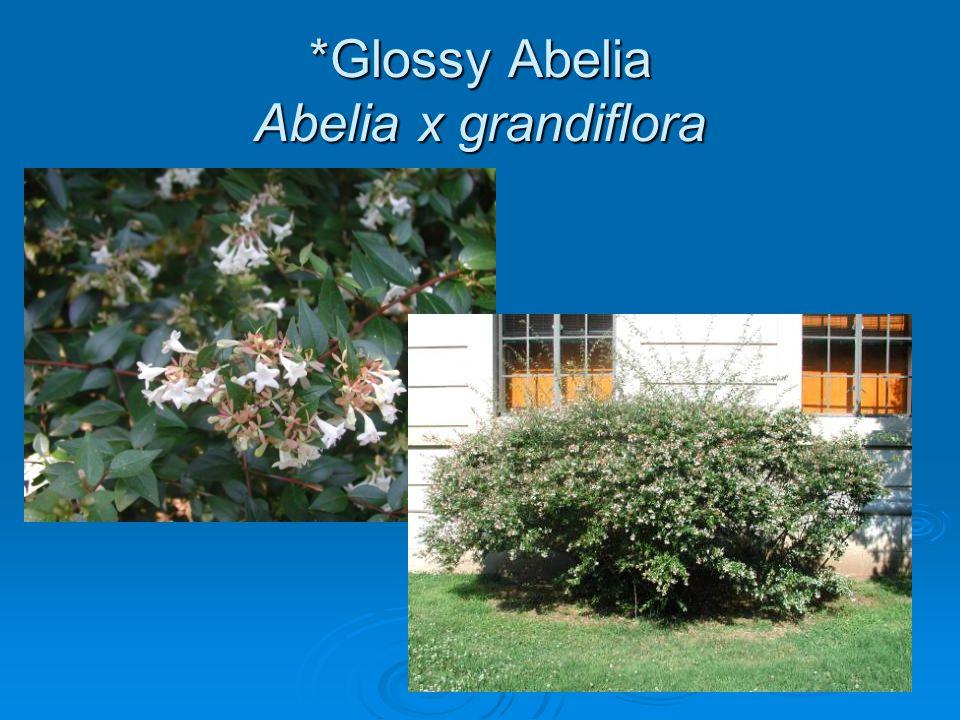 *Glossy Abelia Abelia x grandiflora