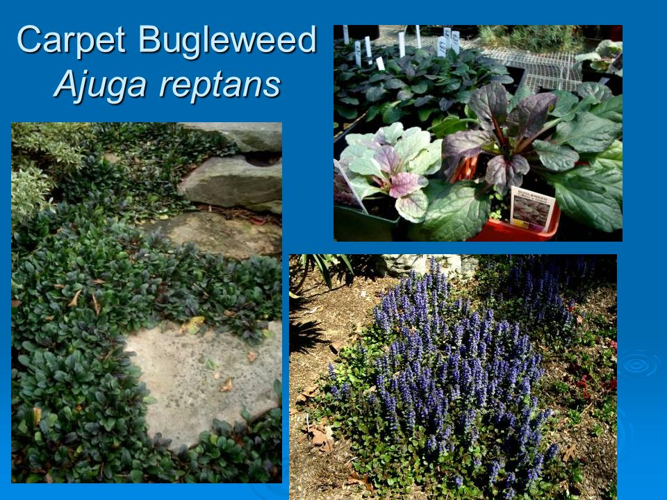 Carpet Bugleweed Ajuga reptans