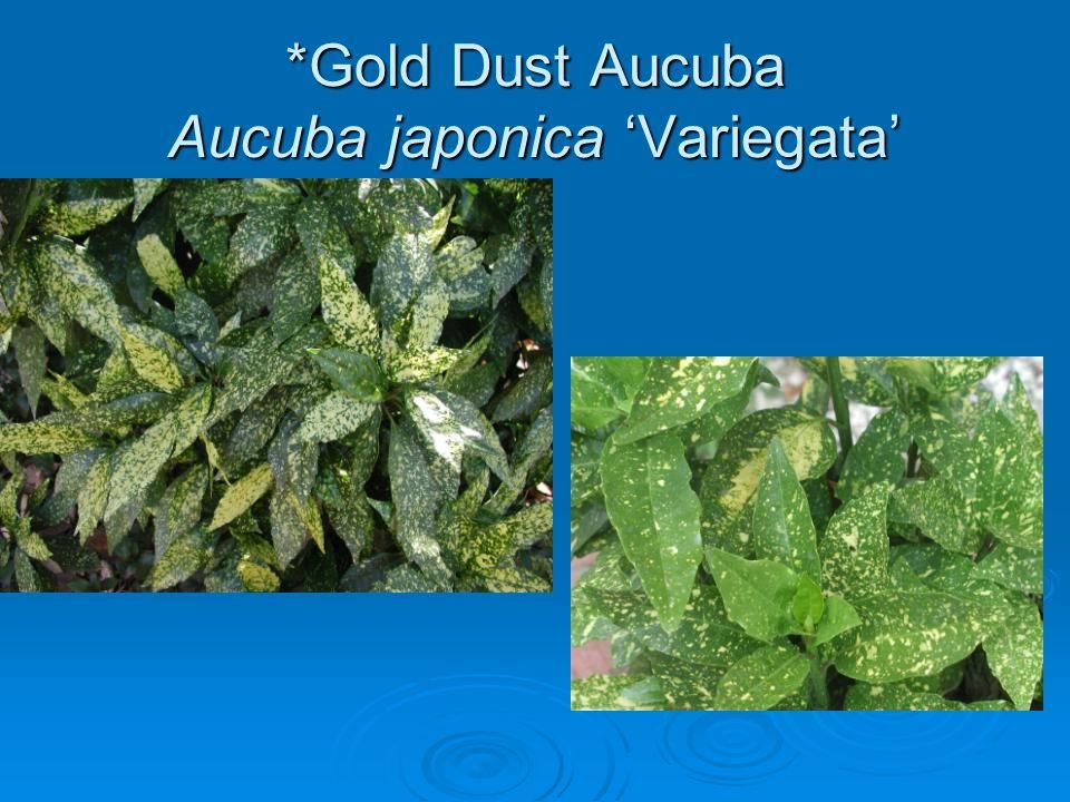 *Gold Dust Aucuba Aucuba japonica 'Variegata'