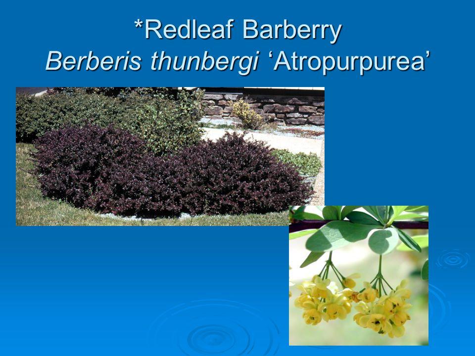 *Redleaf Barberry Berberis thunbergi 'Atropurpurea'