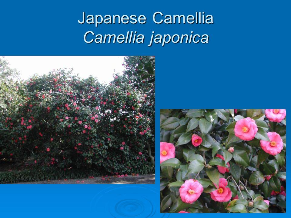 Japanese Camellia Camellia japonica