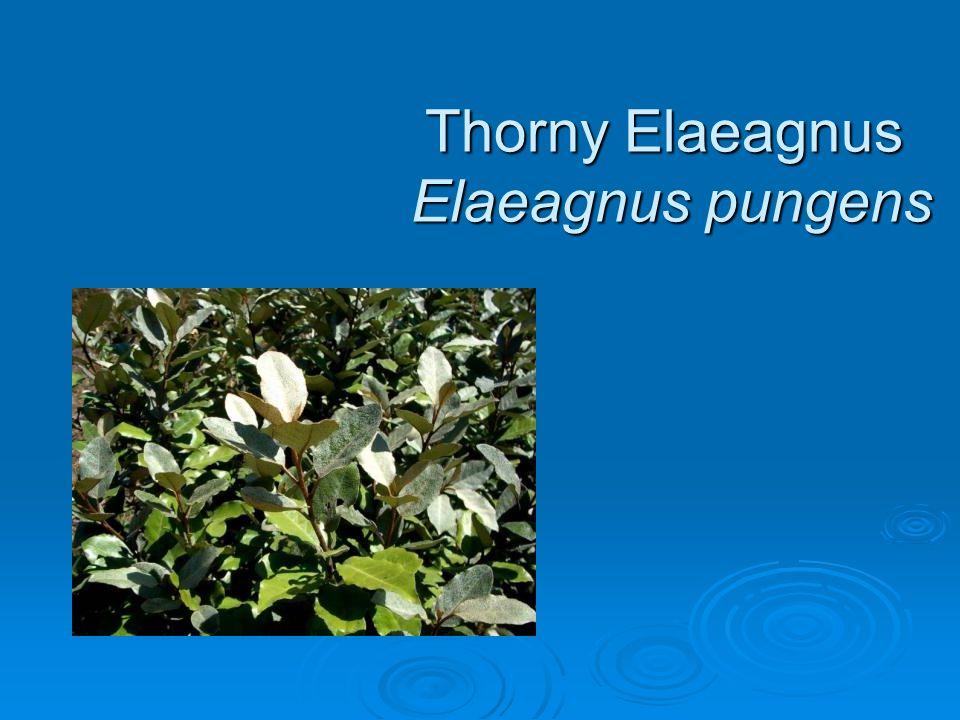 Thorny Elaeagnus Elaeagnus pungens