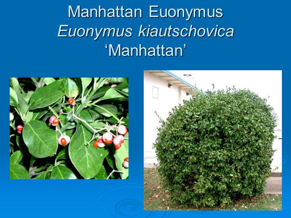 Manhattan Euonymus Euonymus kiautschovica 'Manhattan'