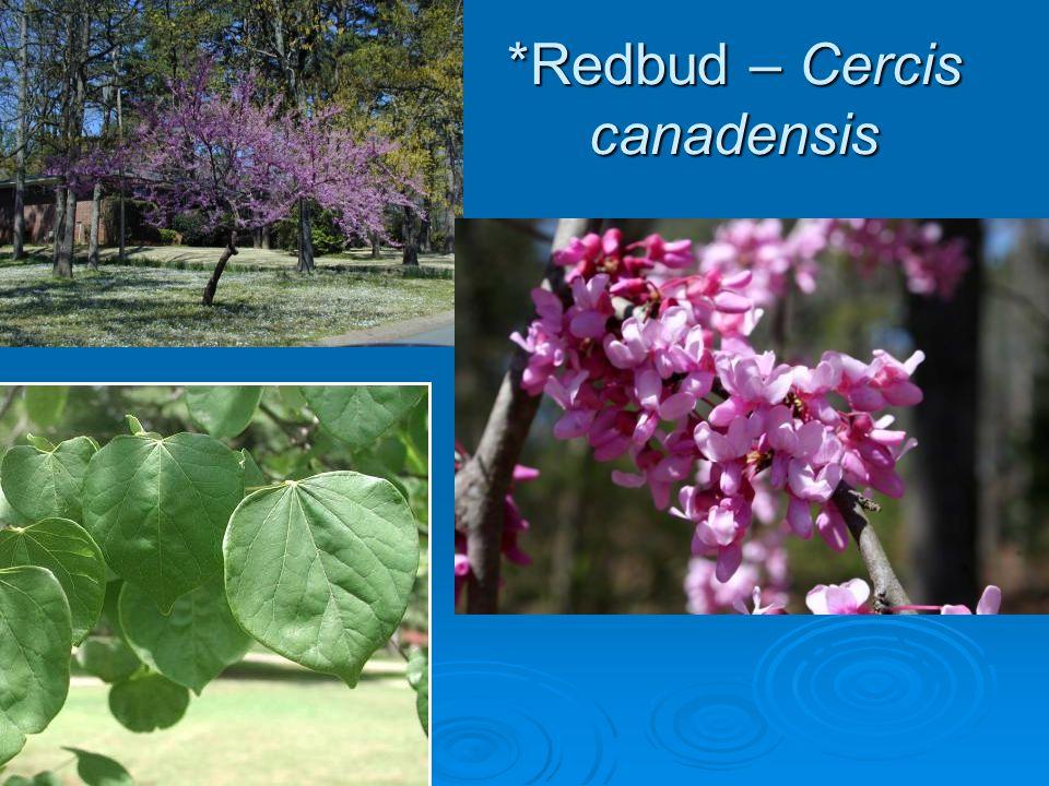 *Flowering Dogwood Cornus florida