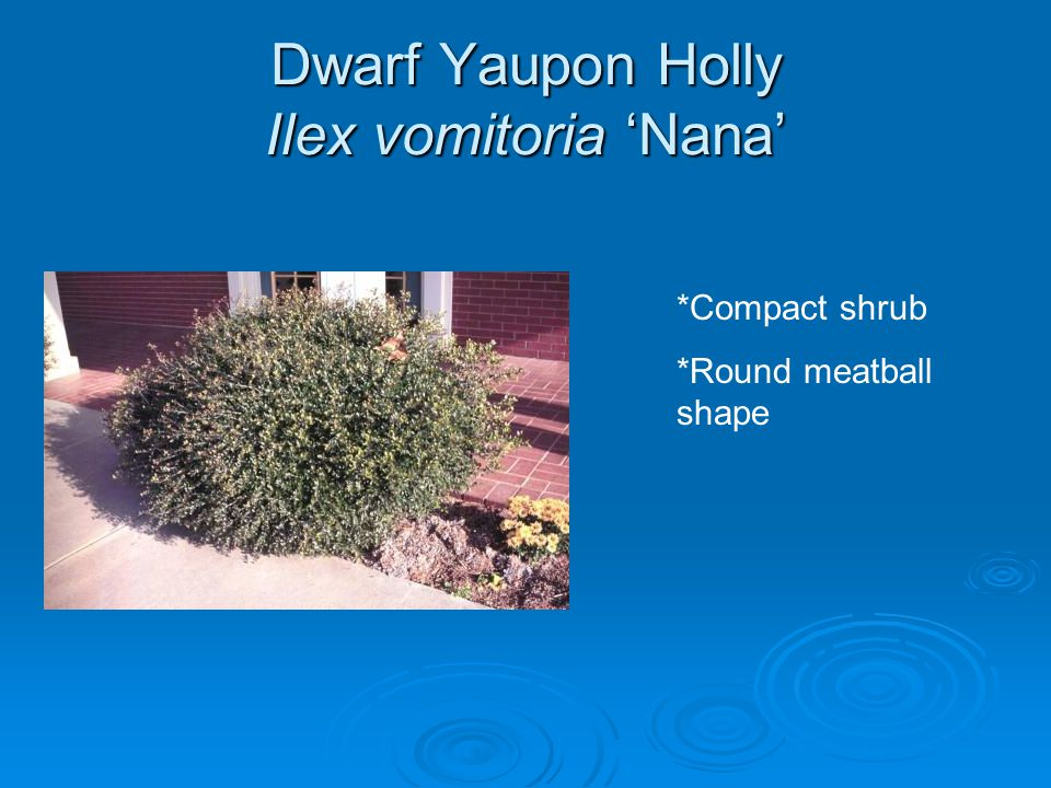 Dwarf Yaupon Holly Ilex vomitoria 'Nana' *Compact shrub *Round meatball shape