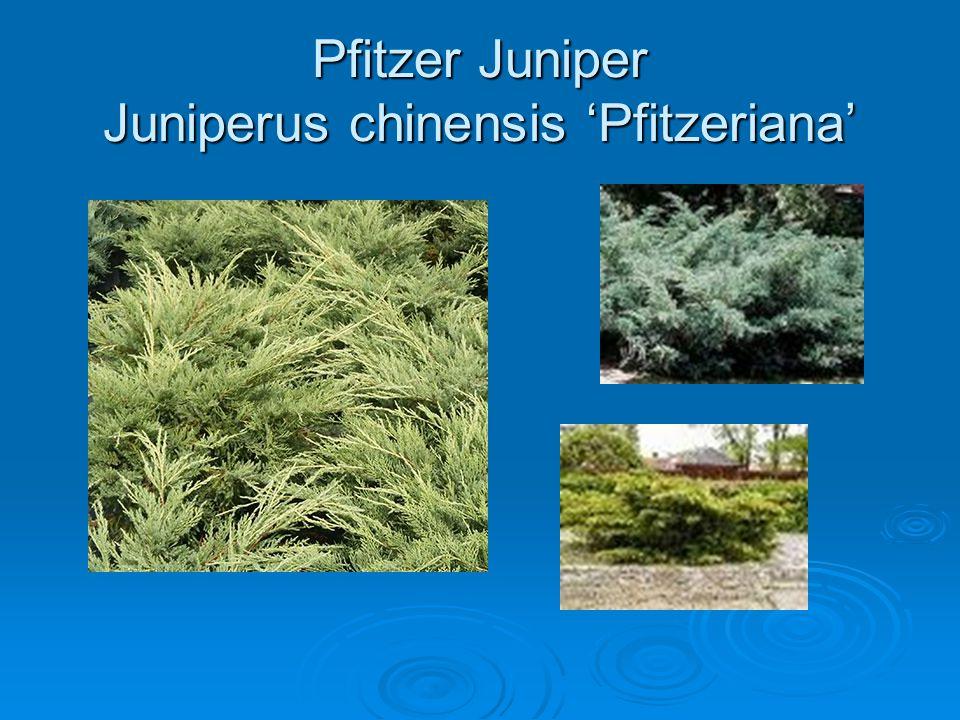 Pfitzer Juniper Juniperus chinensis 'Pfitzeriana'