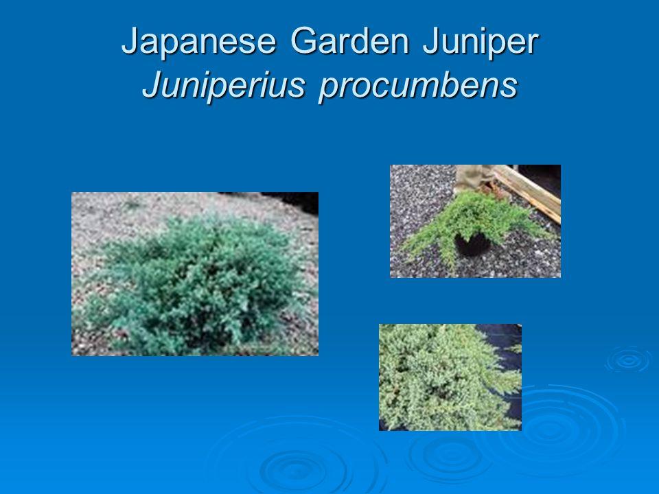 Japanese Garden Juniper Juniperius procumbens