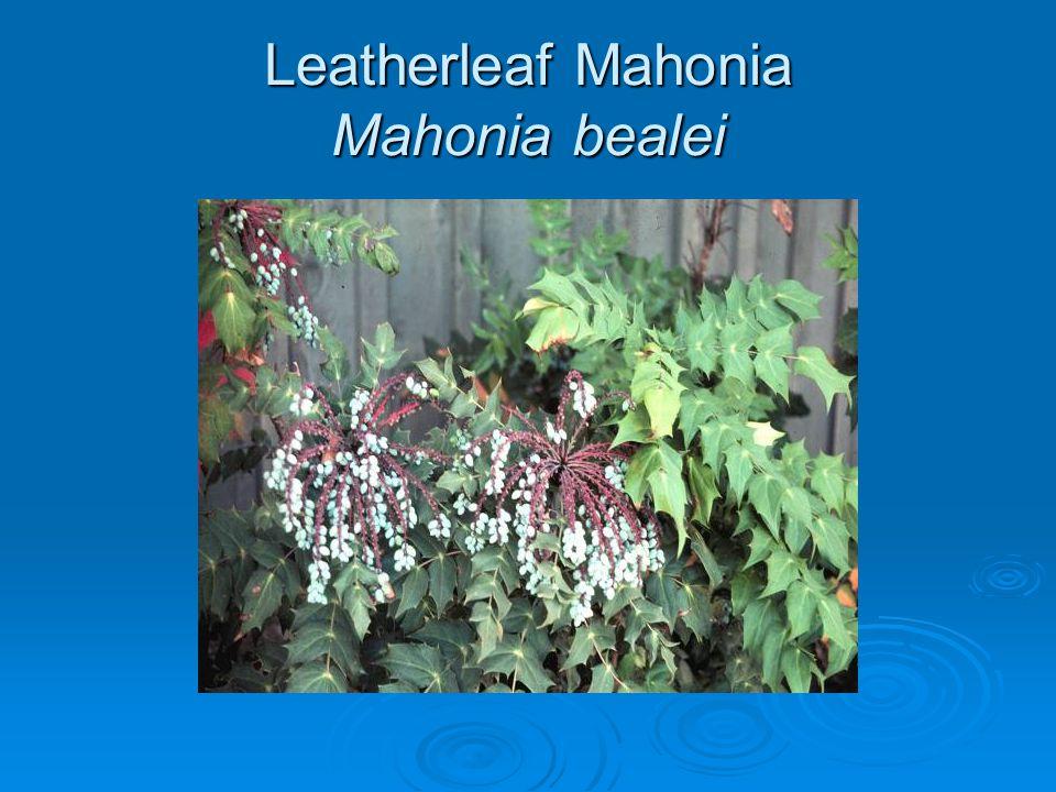 Leatherleaf Mahonia Mahonia bealei