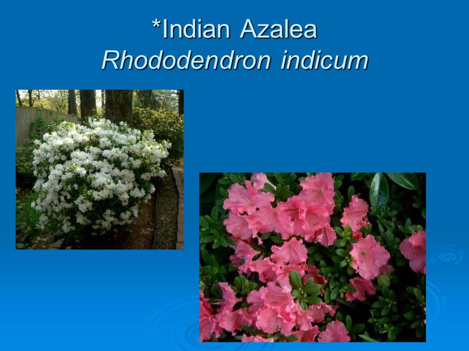 *Indian Azalea Rhododendron indicum