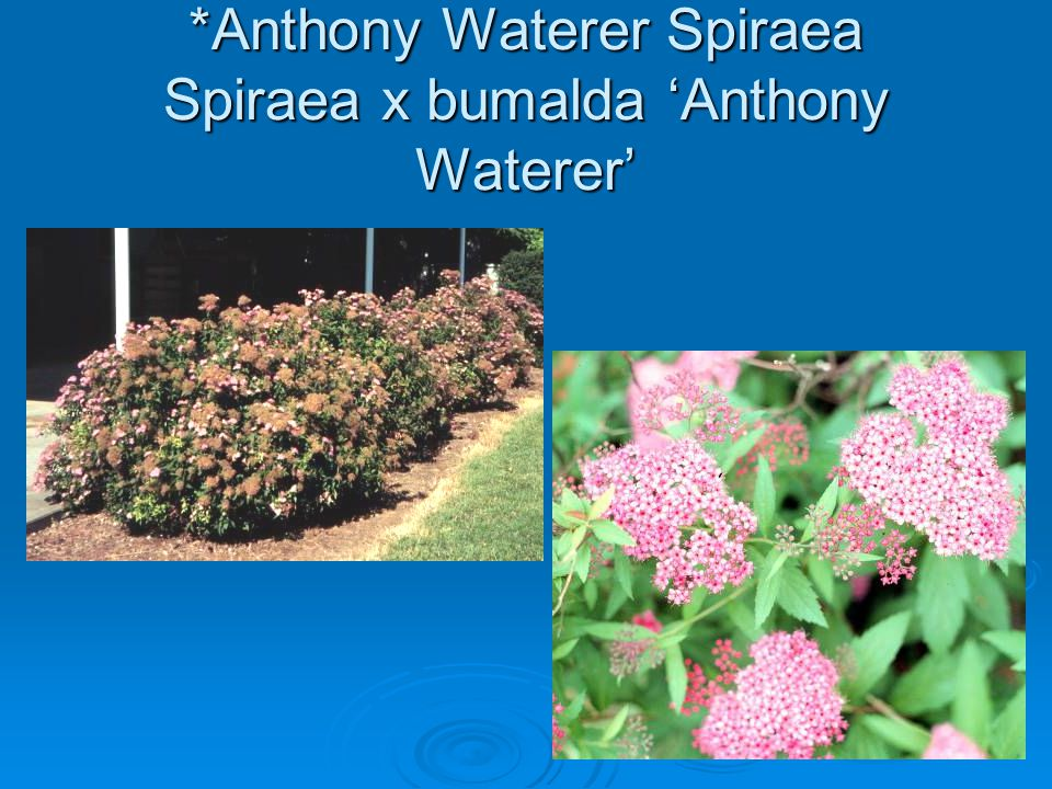 *Anthony Waterer Spiraea Spiraea x bumalda 'Anthony Waterer'