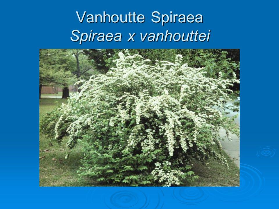 Vanhoutte Spiraea Spiraea x vanhouttei