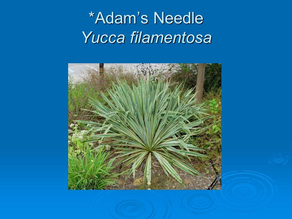 *Adam's Needle Yucca filamentosa
