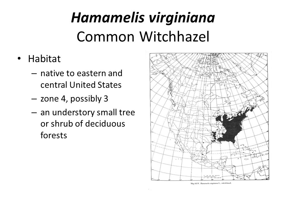 Hamamelis virginiana Common Witchhazel Habitat – native to eastern and central United States – zone 4, possibly 3 – an understory small tree or shrub