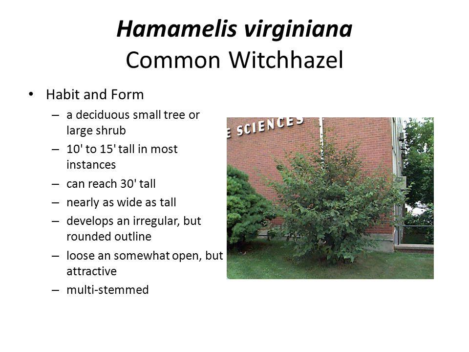 Hamamelis virginiana Common Witchhazel Habit and Form – a deciduous small tree or large shrub – 10' to 15' tall in most instances – can reach 30' tall