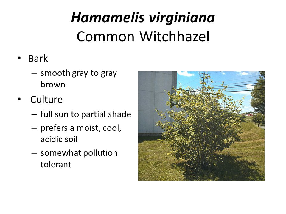 Hamamelis virginiana Common Witchhazel Bark – smooth gray to gray brown Culture – full sun to partial shade – prefers a moist, cool, acidic soil – som