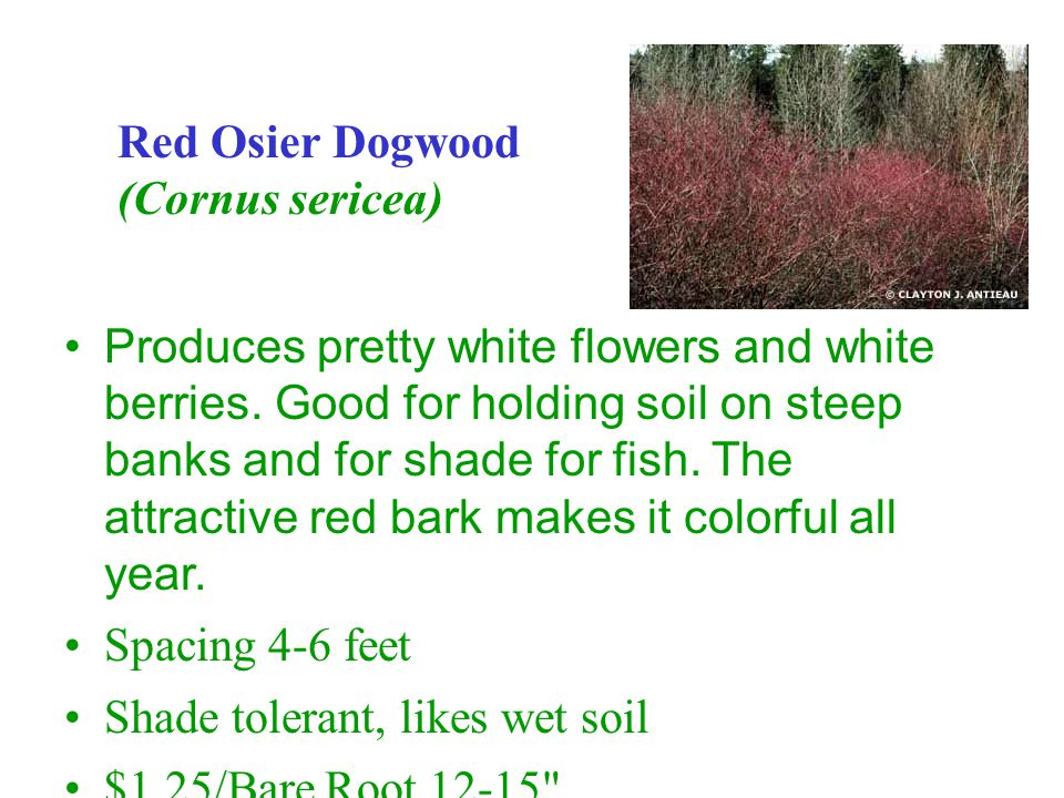 Produces pretty white flowers and white berries.