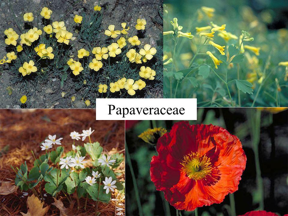Papaveraceae