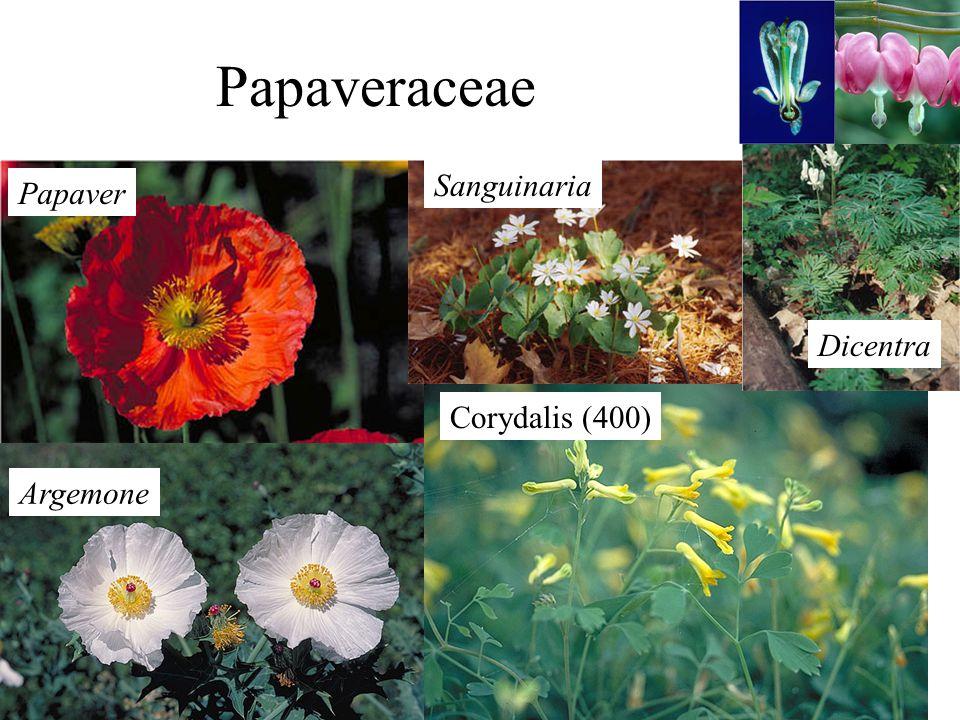 Argemone Corydalis (400) Papaver Sanguinaria Dicentra