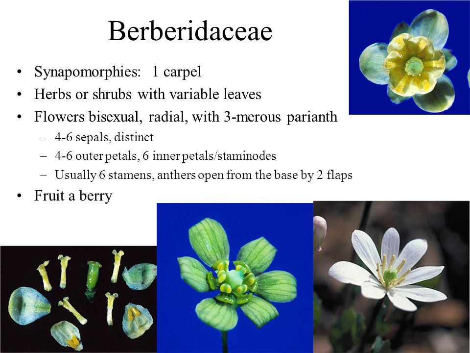 Berberidaceae Synapomorphies: 1 carpel Herbs or shrubs with variable leaves Flowers bisexual, radial, with 3-merous parianth –4-6 sepals, distinct –4-6 outer petals, 6 inner petals/staminodes –Usually 6 stamens, anthers open from the base by 2 flaps Fruit a berry