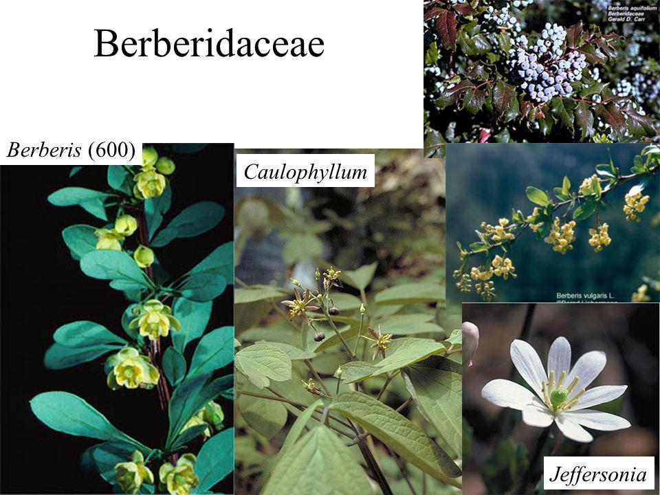 Berberidaceae Caulophyllum Jeffersonia Berberis (600)