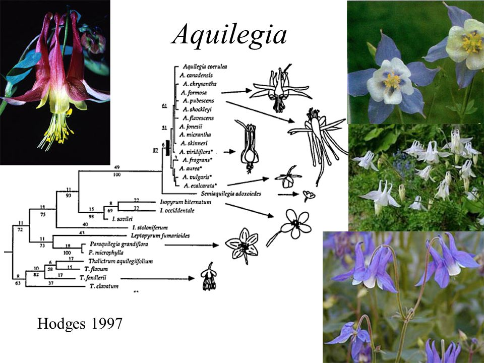 Aquilegia Hodges 1997