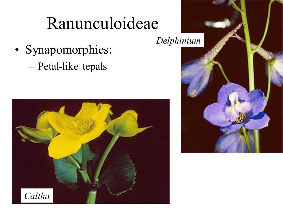 Ranunculoideae Synapomorphies: –Petal-like tepals Delphinium Caltha