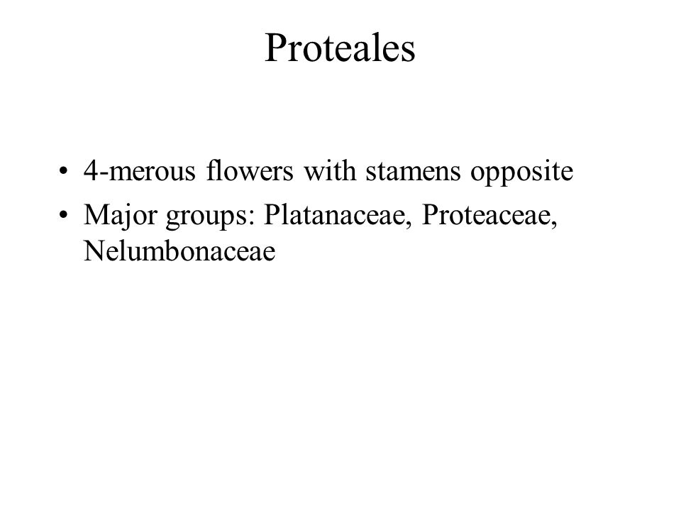Proteales 4-merous flowers with stamens opposite Major groups: Platanaceae, Proteaceae, Nelumbonaceae