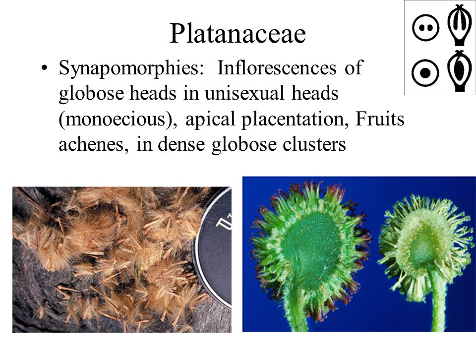 Platanaceae Synapomorphies: Inflorescences of globose heads in unisexual heads (monoecious), apical placentation, Fruits achenes, in dense globose clusters