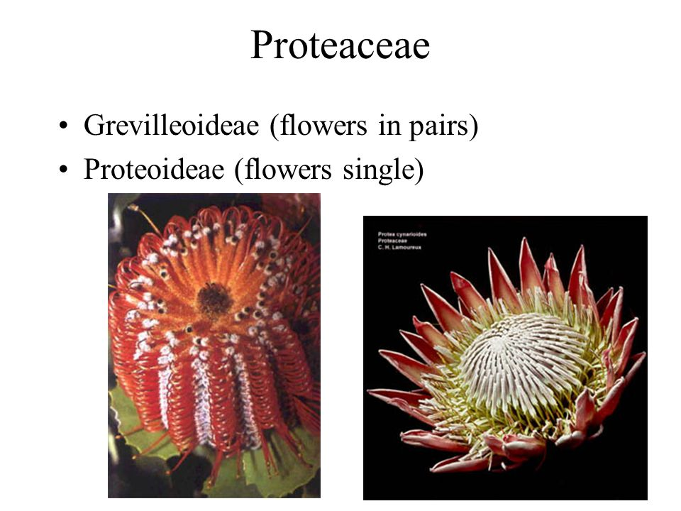 Proteaceae Grevilleoideae (flowers in pairs) Proteoideae (flowers single)