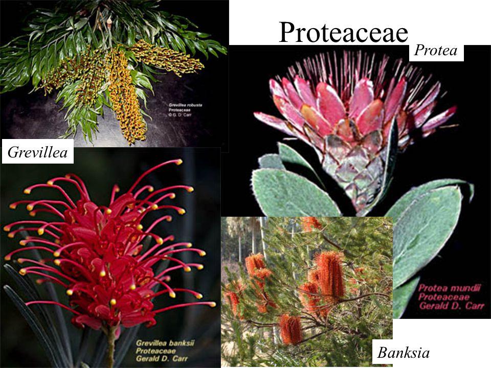 Proteaceae Protea Banksia Grevillea