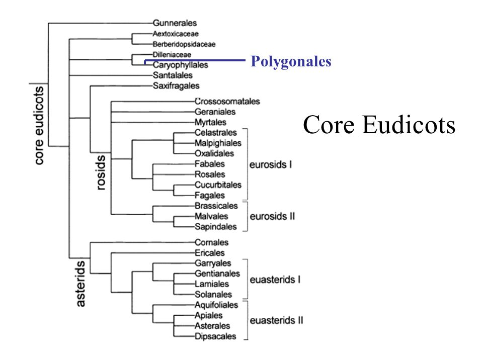 Core Eudicots Polygonales