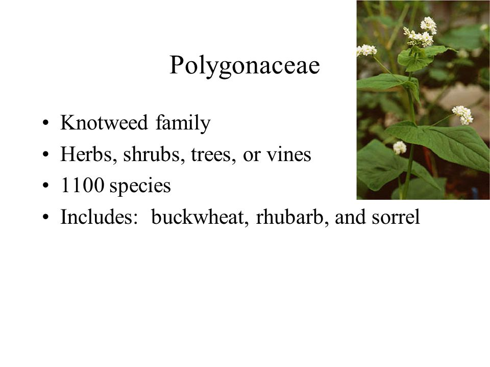 Knotweed family Herbs, shrubs, trees, or vines 1100 species Includes: buckwheat, rhubarb, and sorrel Polygonaceae