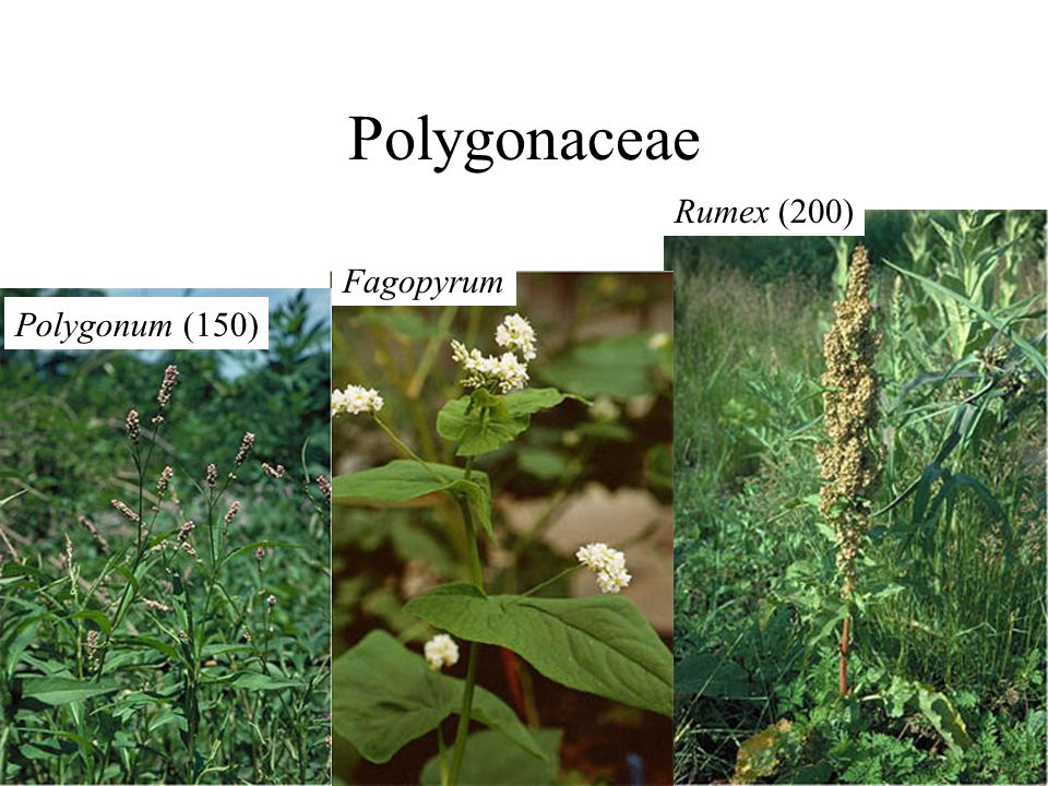 Rumex (200) Fagopyrum Polygonum (150)