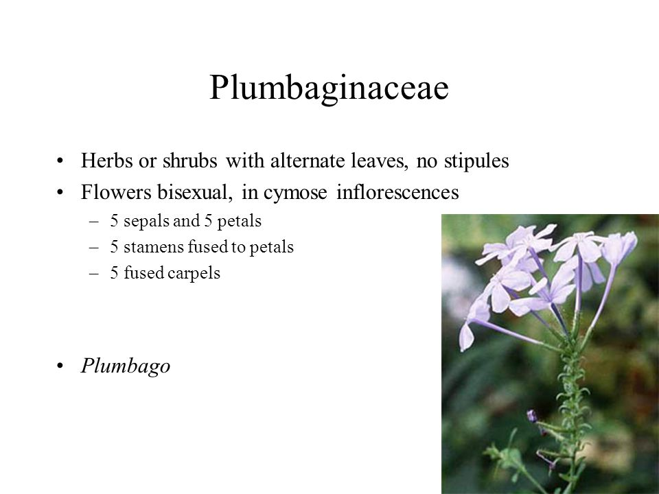 Plumbaginaceae Herbs or shrubs with alternate leaves, no stipules Flowers bisexual, in cymose inflorescences –5 sepals and 5 petals –5 stamens fused to petals –5 fused carpels Plumbago