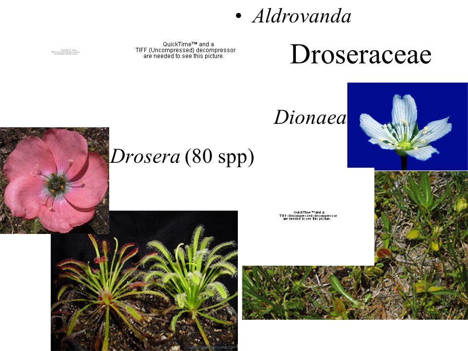 Droseraceae Drosera (80 spp) Dionaea Aldrovanda