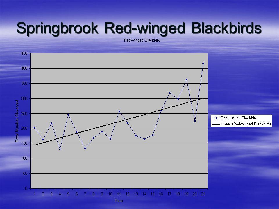 Springbrook Red-winged Blackbirds