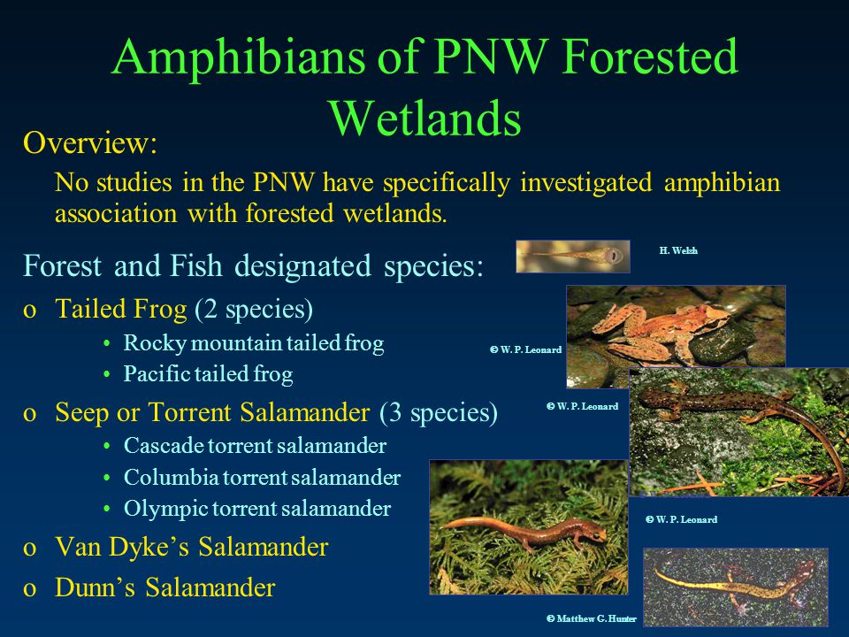 Amphibians of PNW Forested Wetlands Overview: No studies in the PNW have specifically investigated amphibian association with forested wetlands.