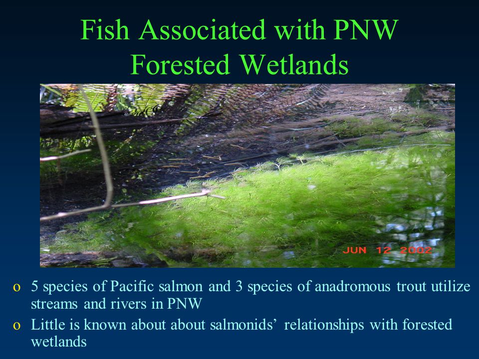 Fish Associated with PNW Forested Wetlands o5 species of Pacific salmon and 3 species of anadromous trout utilize streams and rivers in PNW oLittle is known about about salmonids' relationships with forested wetlands