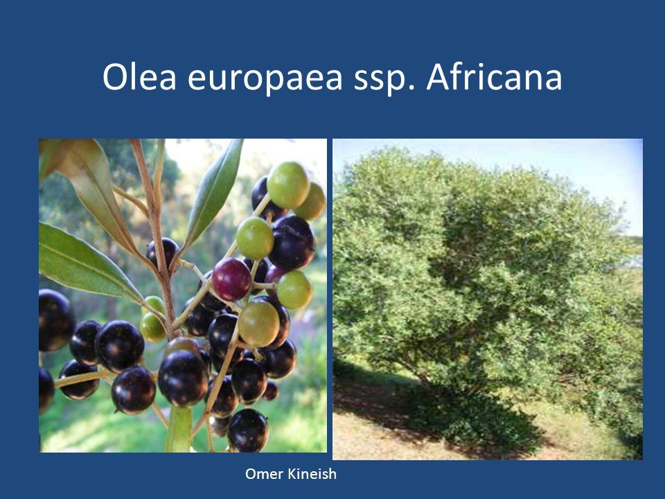 Olea europaea ssp. Africana Omer Kineish
