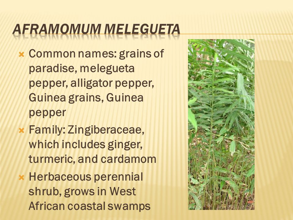  Common names: grains of paradise, melegueta pepper, alligator pepper, Guinea grains, Guinea pepper  Family: Zingiberaceae, which includes ginger, t