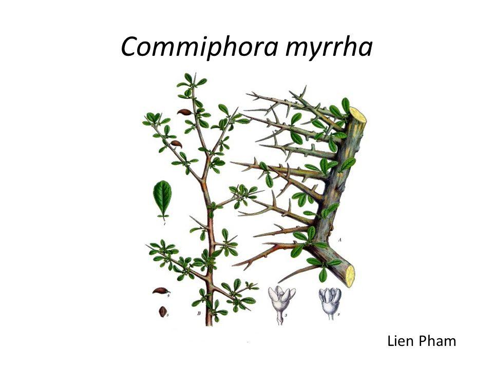 Commiphora myrrha Lien Pham