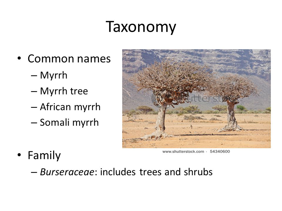 Taxonomy Common names – Myrrh – Myrrh tree – African myrrh – Somali myrrh Family – Burseraceae: includes trees and shrubs