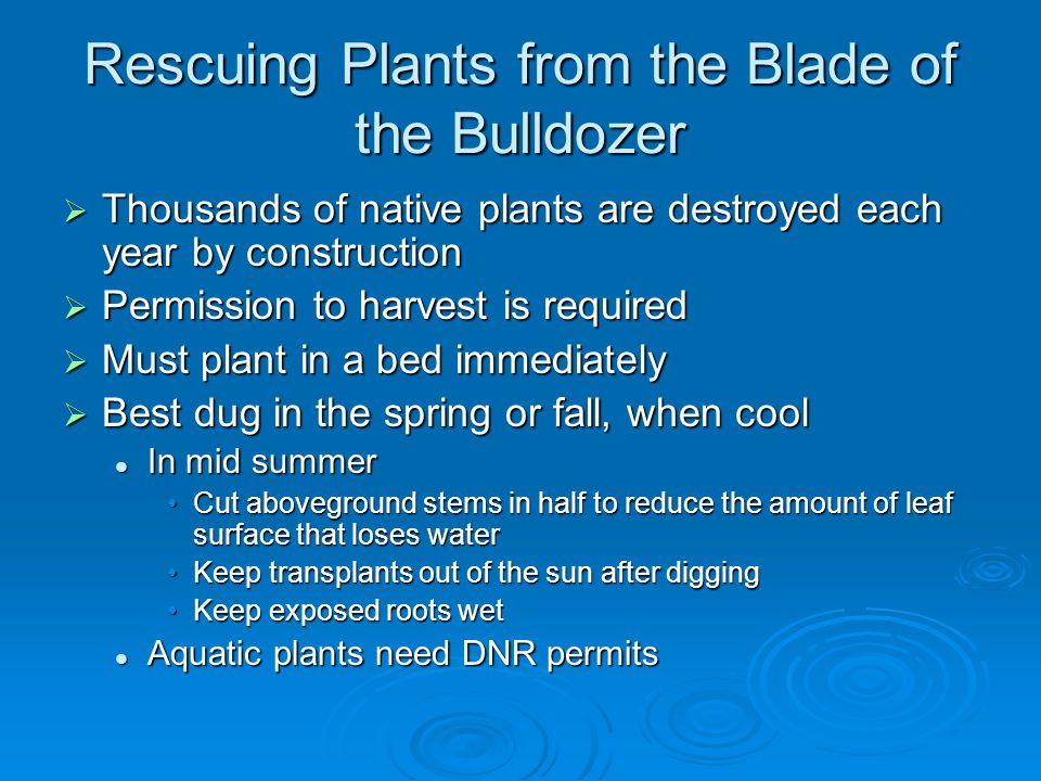 Rescuing Plants from the Blade of the Bulldozer  Thousands of native plants are destroyed each year by construction  Permission to harvest is required  Must plant in a bed immediately  Best dug in the spring or fall, when cool In mid summer In mid summer Cut aboveground stems in half to reduce the amount of leaf surface that loses waterCut aboveground stems in half to reduce the amount of leaf surface that loses water Keep transplants out of the sun after diggingKeep transplants out of the sun after digging Keep exposed roots wetKeep exposed roots wet Aquatic plants need DNR permits Aquatic plants need DNR permits